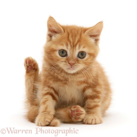 British shorthair red tabby kitten sitting with hind leg raised, white background