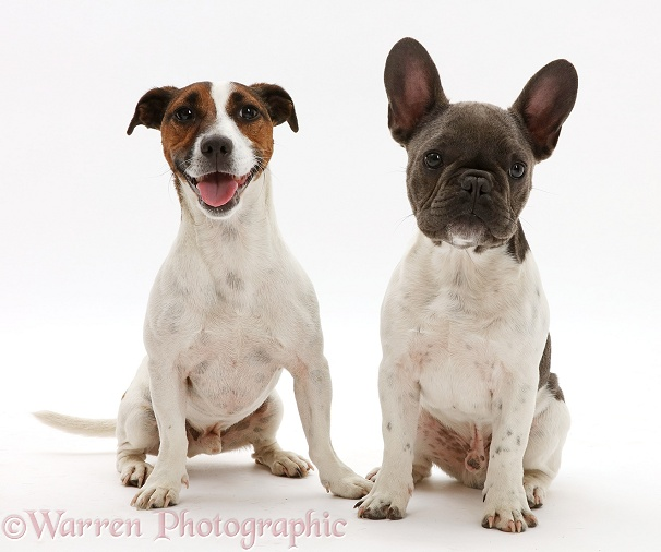 French Bulldog and Jack Russell Terrier, white background
