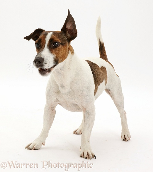 Playful Jack Russell Terrier dog, white background