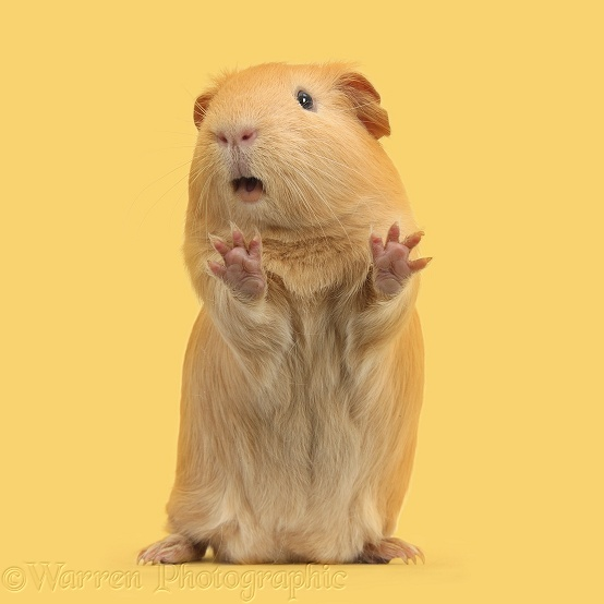 Yellow Guinea pig standing up and squeaking