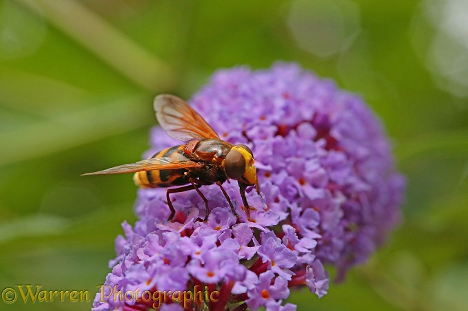 Hornet Hover Fly (Volucella zonaria) on Buddleia