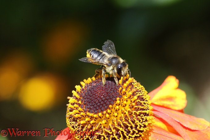 Leaf-cutting Bee (Megachile species) on Helenium