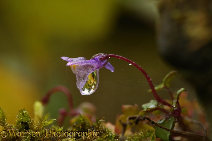 Raindrop on Ivy-leaved Toadflax flower (Cymbalaria muralis)