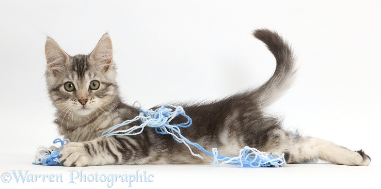 Silver tabby kitten, Loki, 11 weeks old, lying stretched out with wool, white background