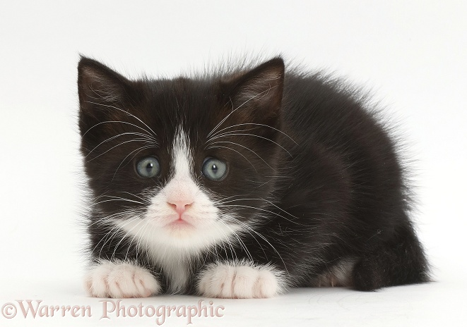 Black-and-white kitten, Solo, crouched and worried expression, white background