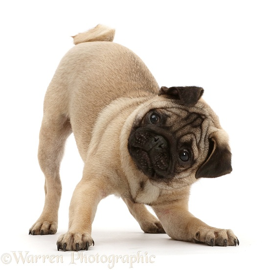 Pug puppy in play-bow, white background