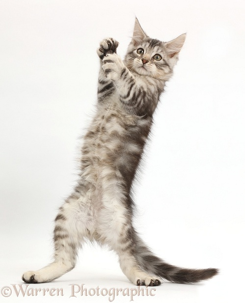 Silver tabby kitten, Loki, 11 weeks old, standing up on his hind legs, white background