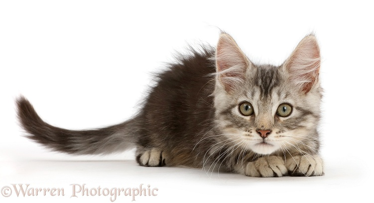Silver tabby kitten, Loki, 11 weeks old, crouching, ready to pounce, white background