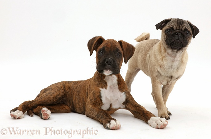 Pug puppy with Boxer puppy, white background