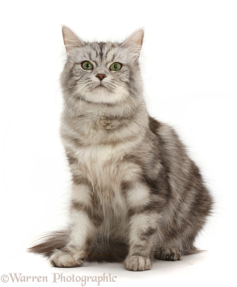 Silver tabby female cat sitting, white background