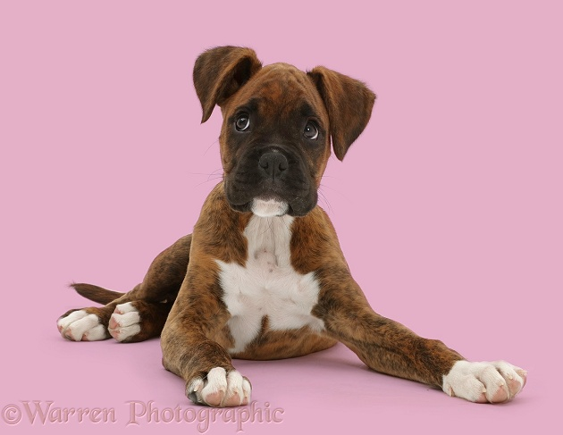 Brindle Boxer puppy looking to the side