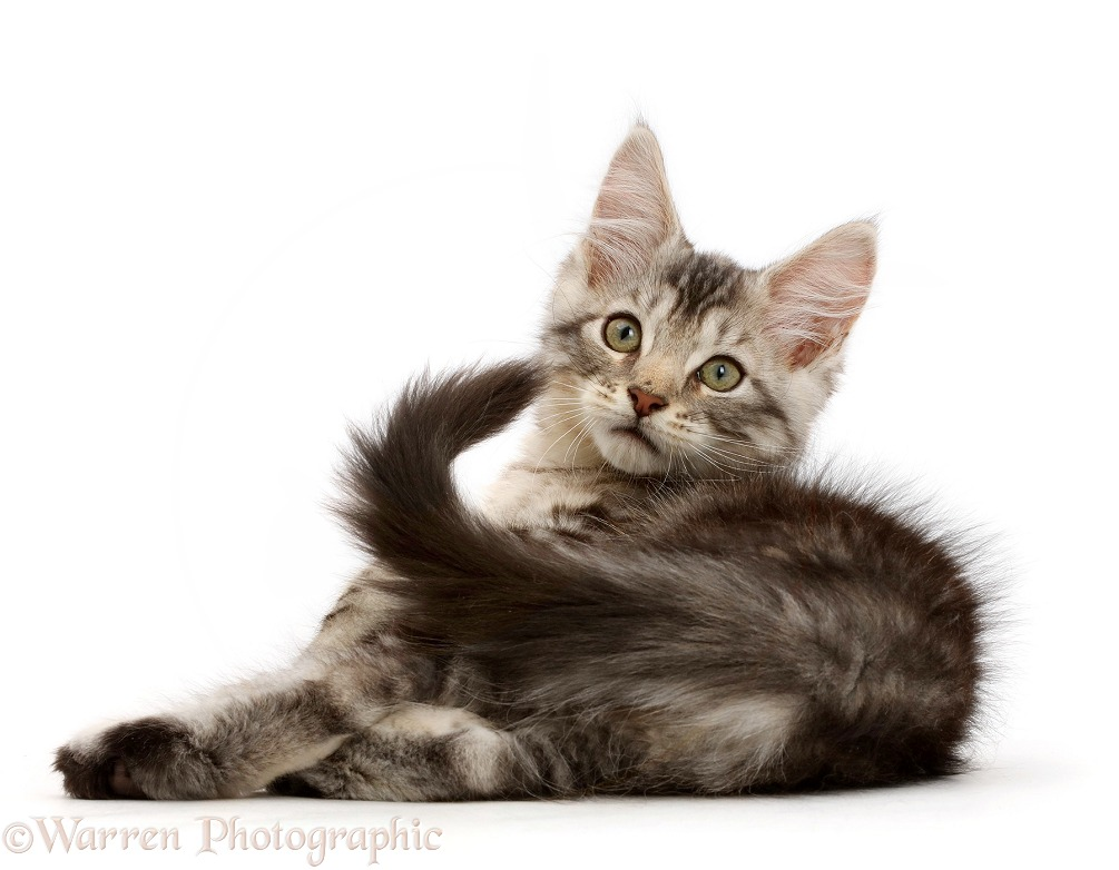 Silver tabby kitten, Loki, 11 weeks old, lying on his side and looking over his shoulder, white background