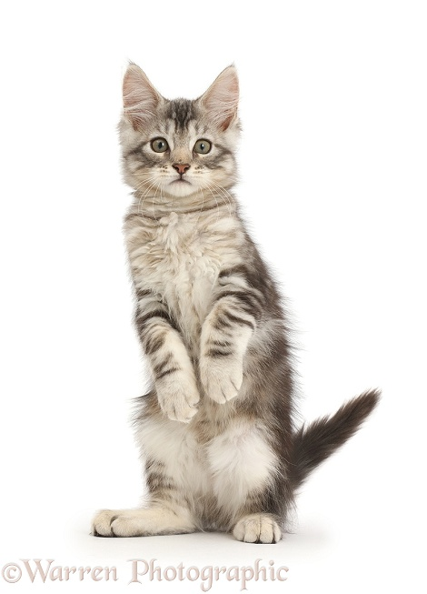 Silver tabby kitten, Loki, 11 weeks old, standing on hind legs like a meerkat with front paws hanging, white background