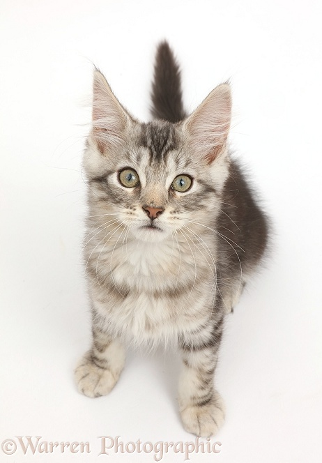 Silver tabby kitten, Loki, 11 weeks old, sitting, white background