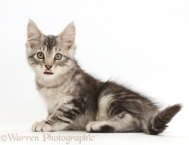 Silver tabby kitten, Loki, 11 weeks old, showing tongue, white background