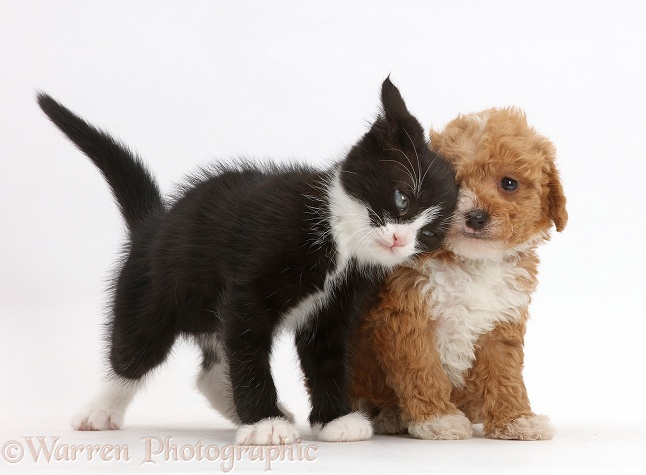 Black-and-white kitten, Solo, 6 weeks old, rubbing against F1b toy goldendoodle puppy, white background