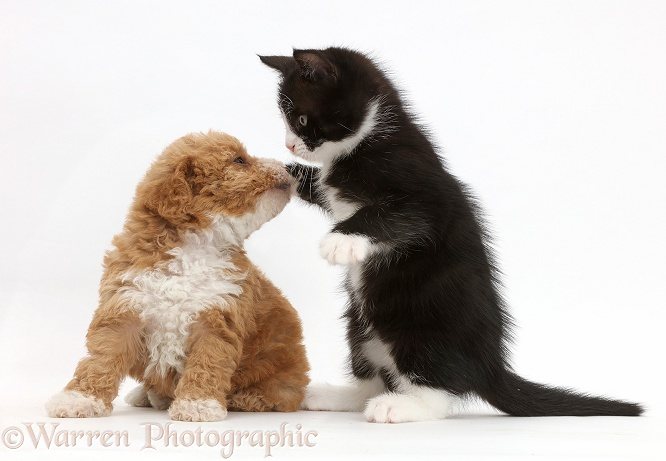Black-and-white kitten, Solo, 6 weeks old, dabbing at F1b toy goldendoodle puppy, white background