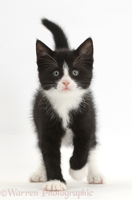 Black-and-white kitten, Solo, 6 weeks old, walking, white background