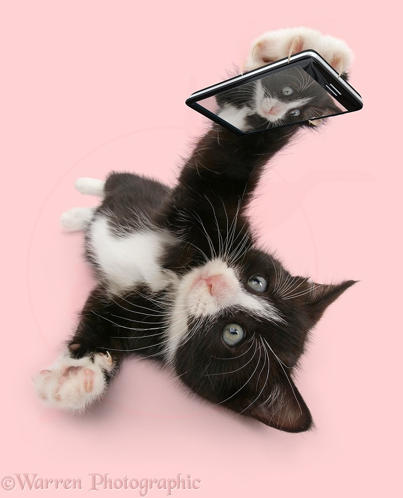Black-and-white kitten, Solo, 6 weeks old, taking a cat selfie, white background