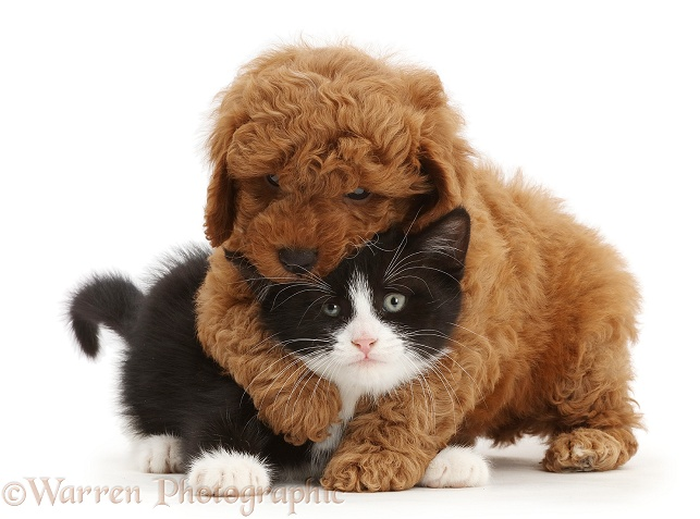 F1b toy Cavapoo puppy wrestling black-and-white kitten, Solo, 7 weeks old, white background