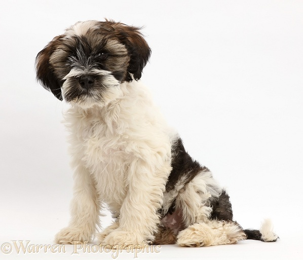 Tibetan Terrier puppy sitting, white background