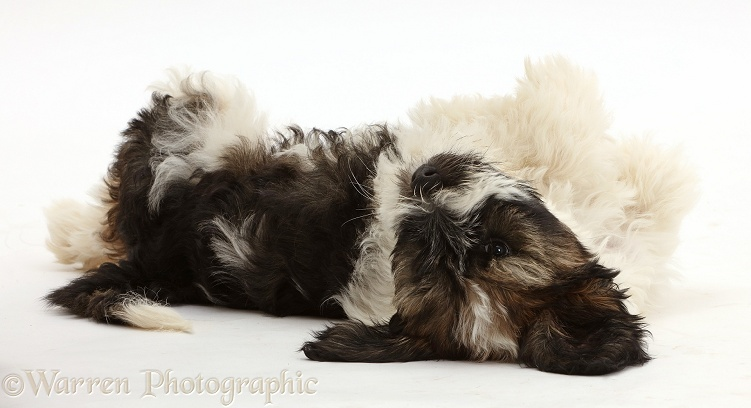 Tibetan Terrier puppy lying on his back, white background