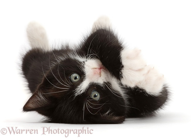 Black-and-white kitten, Solo, 7 weeks old, lying on his back and looking cute, white background
