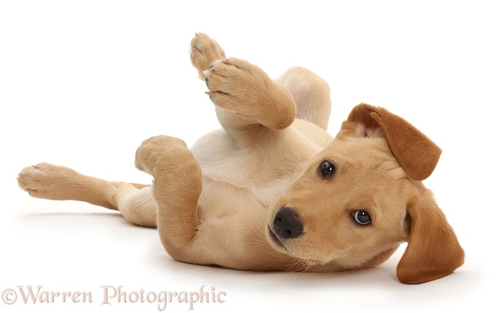 Yellow Labrador puppy, 11 weeks old, lying upsidedown with paws in the air, white background