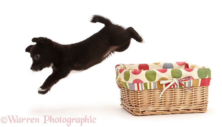 Chihuahua x Jack Russell puppy leaping out of a basket, white background