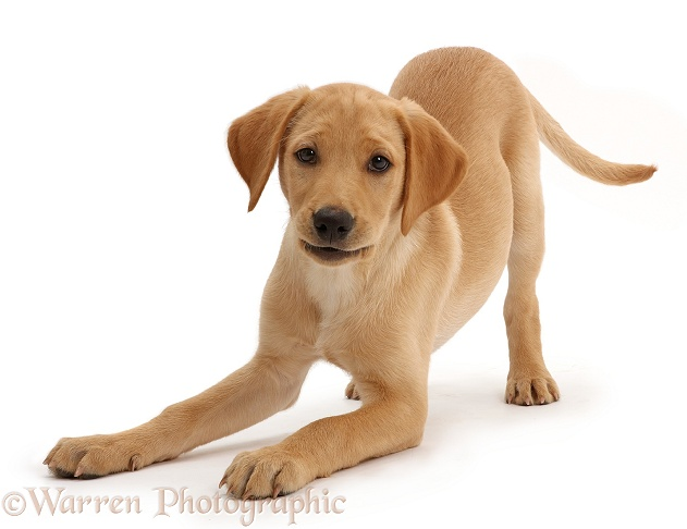 Yellow Labrador puppy, 11 weeks old, in play-bow, white background