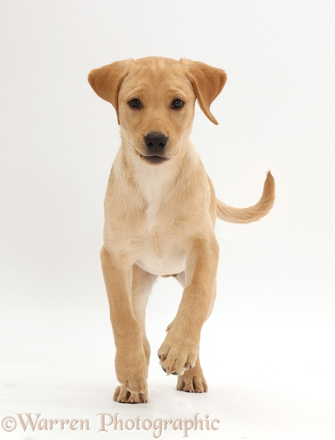 Yellow Labrador puppy, 11 weeks old, running, white background
