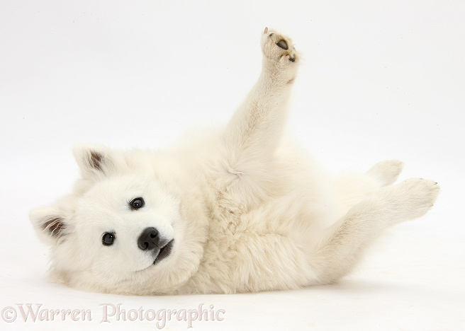 White Japanese Spitz dog, Sushi, 6 months old, lying with his feet in the air, white background