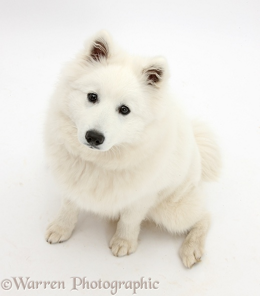 White Japanese Spitz dog, Sushi, 6 months old, white background