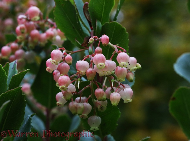 Strawberry Tree (Arbutus unedo) flowering in October