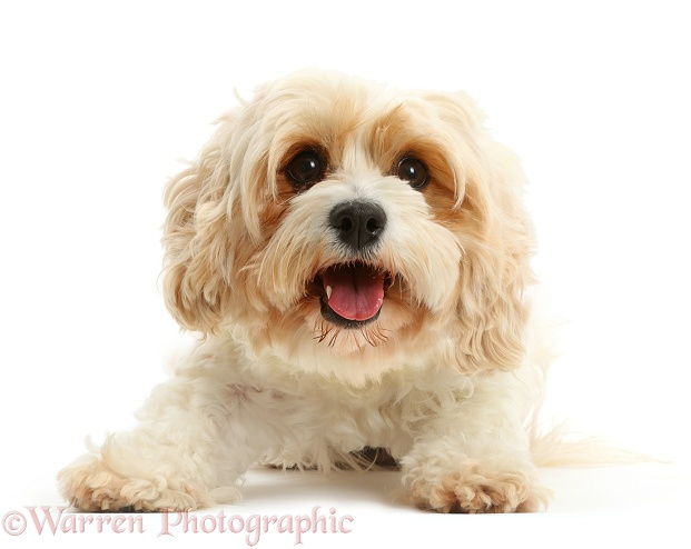 Cavachon bitch, Frazzle, 4 years old, white background
