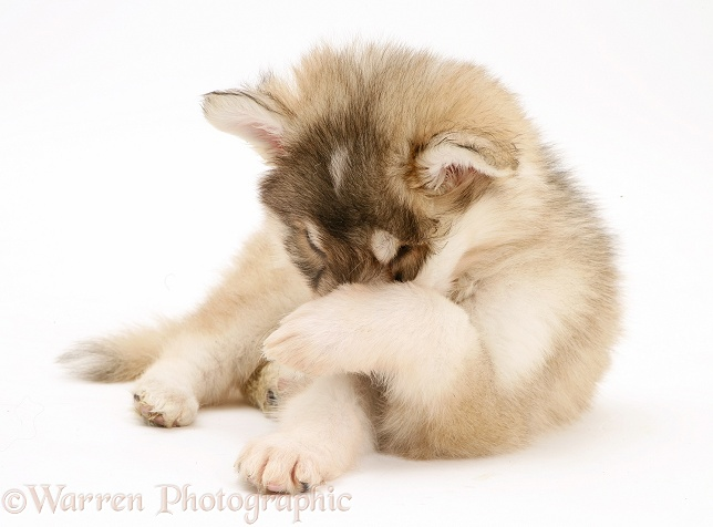 Utonagan puppy hiding its face in shame, white background
