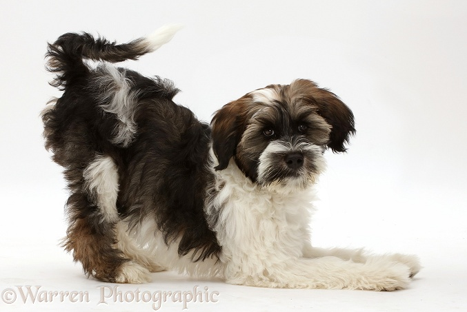 Tibetan Terrier puppy in play-bow, white background