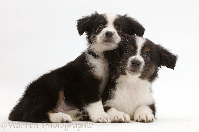 Two Mini American Shepherd puppies, white background