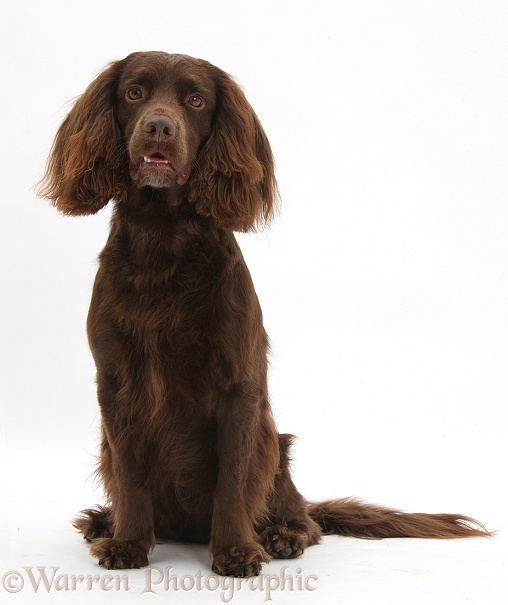 Chocolate working Cocker Spaniel, 4 years old, white background