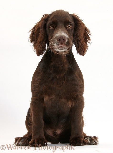 Chocolate Cocker Spaniel pup, Jeff, 4 months old, sitting, white background