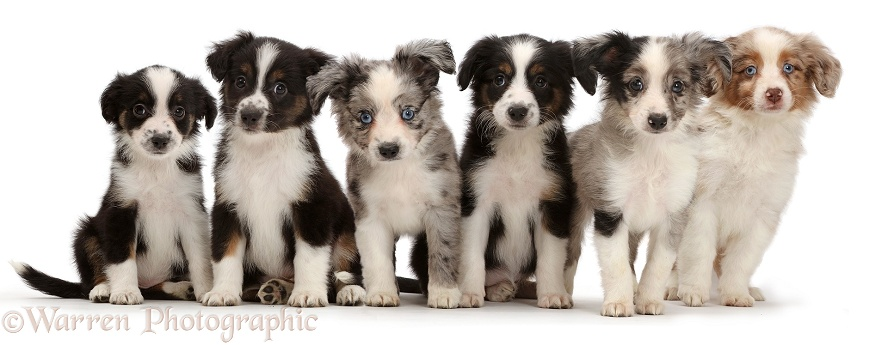 Six Mini American Shepherd puppies sitting in a row, white background