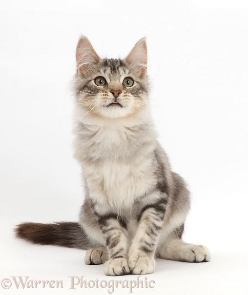 Silver tabby kitten, Loki, 3 months old, sitting, white background
