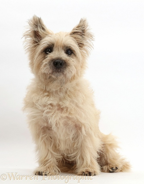 Cairn Terrier dog, Cara, sitting, white background