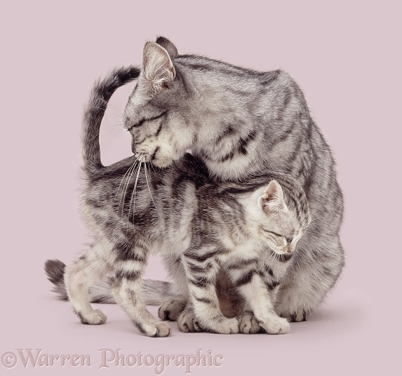 Silver tabby mother cat with kitten, white background