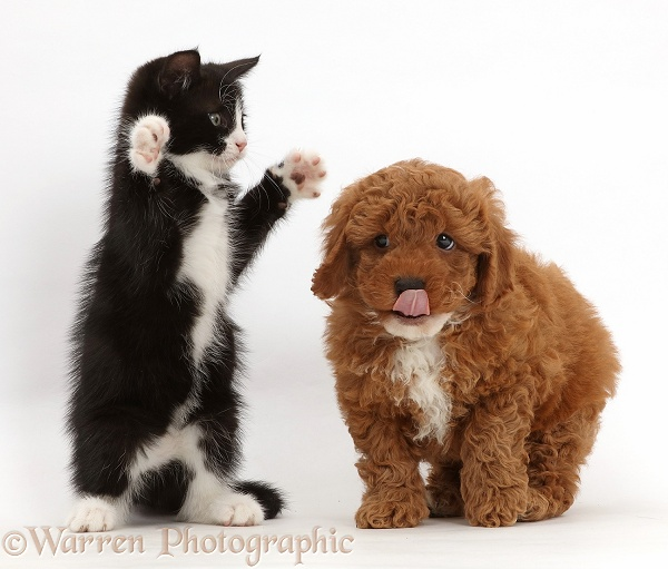Black-and-white kitten, Solo, 7 weeks old, playfully dabbing at F1b toy Cavapoo puppy, white background