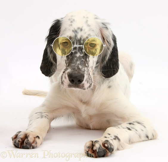 Blue Belton English Setter pup, Belle, 16 weeks old, lying with head up wearing glasses, white background