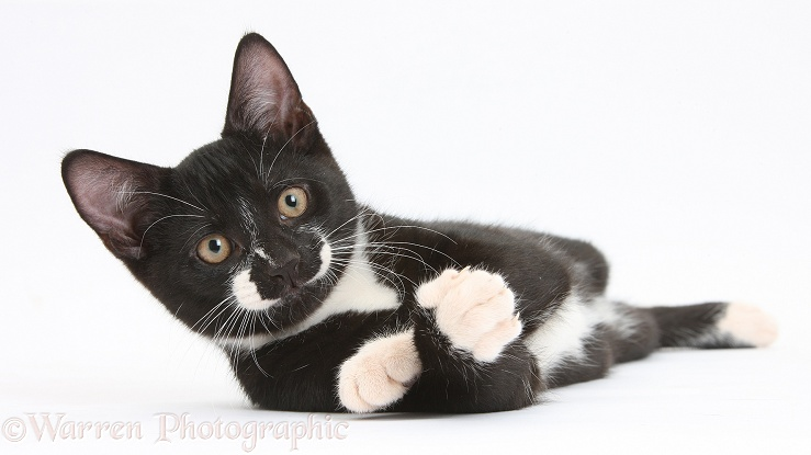 Black-and-white tuxedo male kitten, Tuxie, 3 months old, lounging, white background