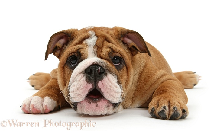 Bulldog pup, 11 weeks old, lying with chin on the floor, white background