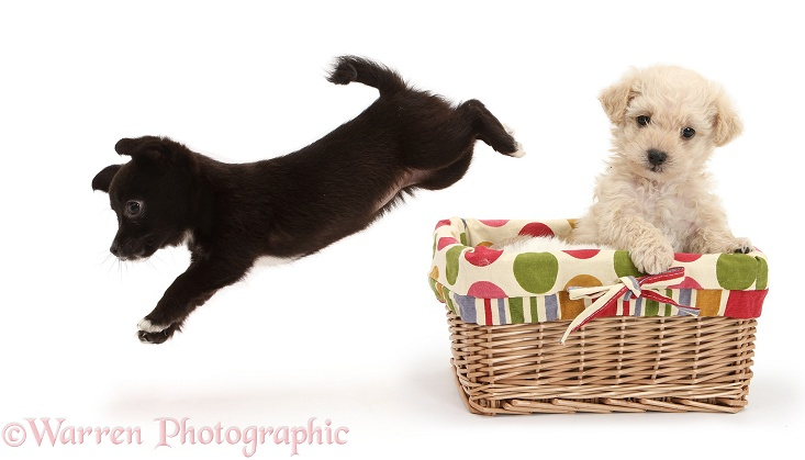 Chihuahua x Jack Russell puppy leaping out of a basket with Bichon Frise x Yorkshire Terrier pup, white background