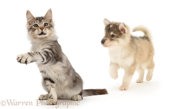 Silver tabby kitten, Loki, 3 months old, beckoning and pointing to show Utonagan puppy the way forward, white background